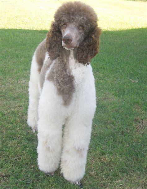 springer clan standard poodles wisata dan info sumbar