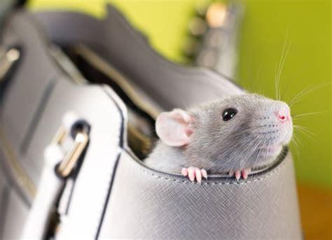 rats   pests  pets natural pest