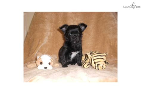 hug puppies for sale meet toby a chihuahua puppy for sale for 300 hugs kisses teacup toby