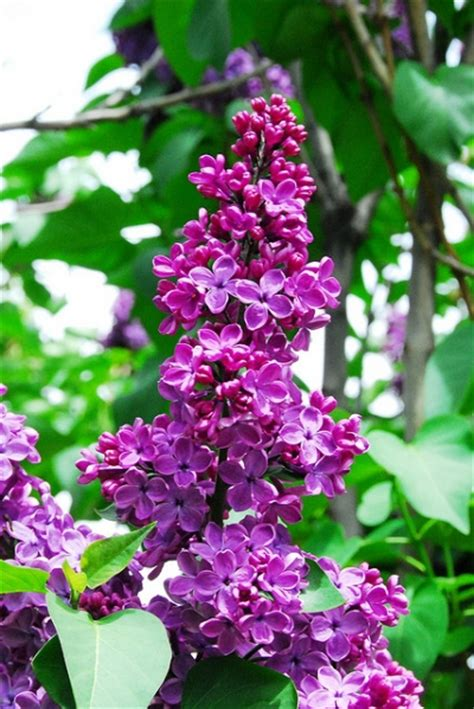 lilac flower meaning the language of flowers happenings in the garden