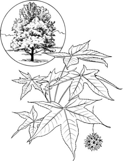 American sweet gum tree coloring page | SuperColoring.com