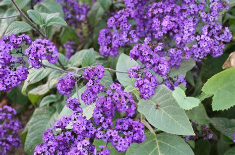 Fleurs Odorantes Pour Balcon fleurs odorantes pour balcon