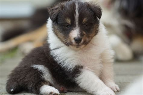 sheltie puppies for sale sheltie shetland tri puppies for sale brackley northtonshire pets4homes