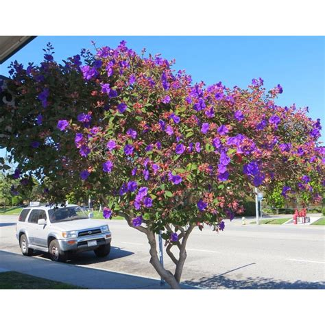 California Patio by Tibouchina Urvilleana Deer Resistant Screen Boething