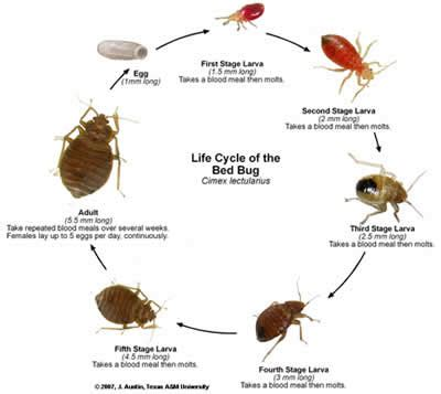 does bed bugs jump do bed bugs jump like fleas dust mites vs bed bugs kill
