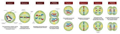new steps in the meiosis chromosome
