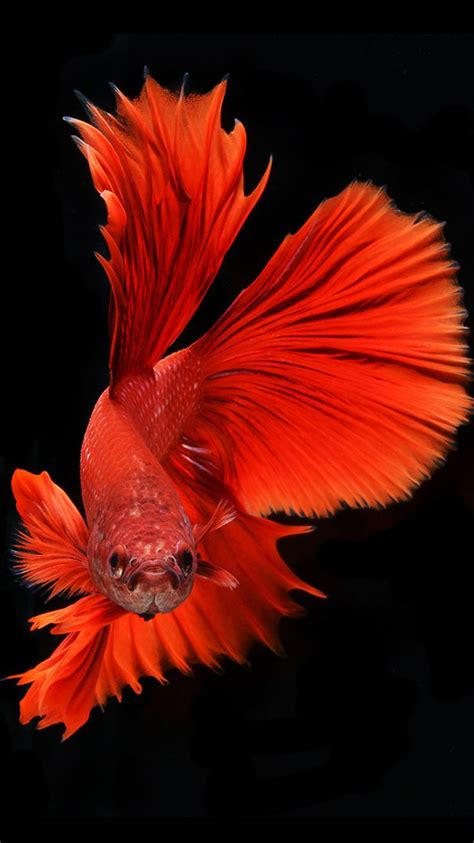 wallpaper for iphone fish apple iphone 6s wallpaper with red veil tail betta fish in