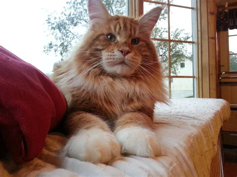 breeders in maine maine coon breeders lancaster pa popular breeds of cats photo