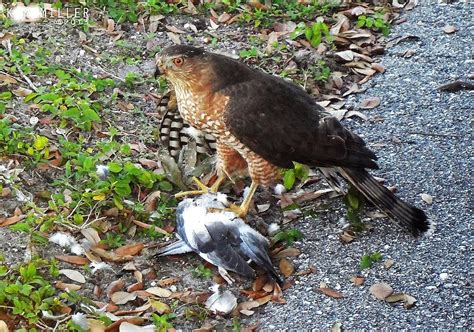 a is for accipiter and alcid a birds part 2 lee s