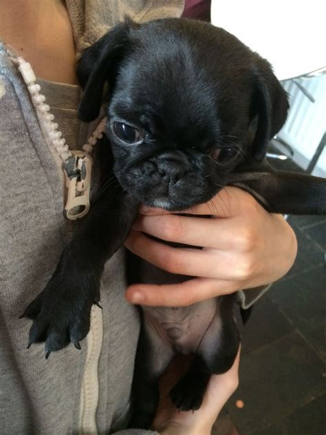 pugs for sale in newcastle kc registered pugs for sale newcastle upon tyne tyne and wear pets4homes