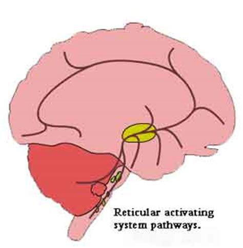 pattern formation in the cerebellum brain stem structures reticular formation pattern