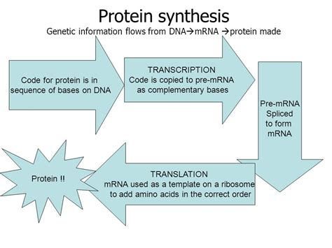 flowchart of how proteins are made in the cell flowchart of protein synthesis flowchart in word