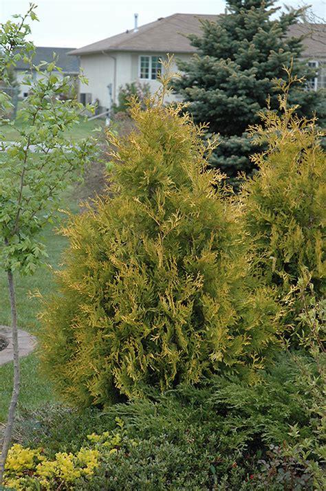 yellow ribbon arborvitae thuja occidentalis yellow