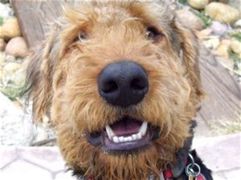 airedale puppies for sale california airedale terrier puppies in california