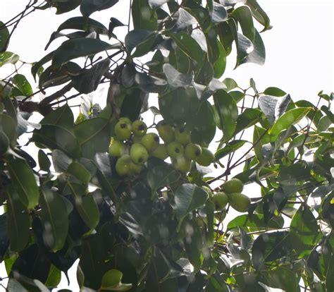 jambu fruit tree wax jambu syzygium samarangense