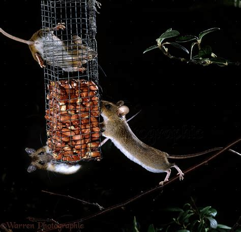 don t rock the boat images mice on bird feeder photo wp15223