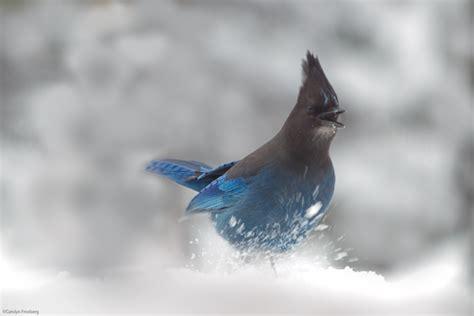 in snow birds in the snow oaklandbiker