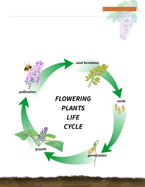 diagram of a cycle of a flowering plant cycle diagram for free