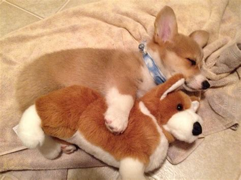 corgi puppie porgi the corgi puppy asleep with his friend corgi puppies and