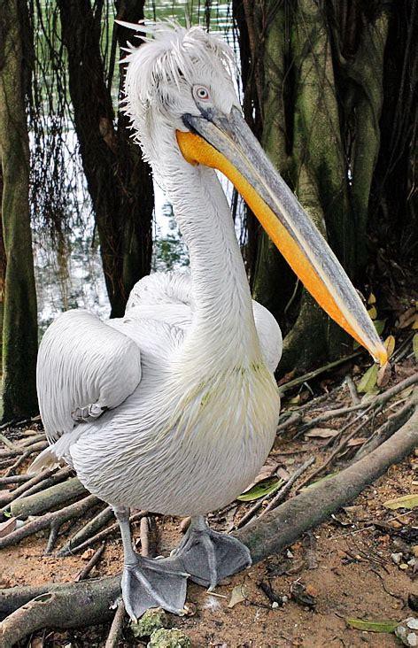 dalmatian pelican simple english wikipedia   encyclopedia