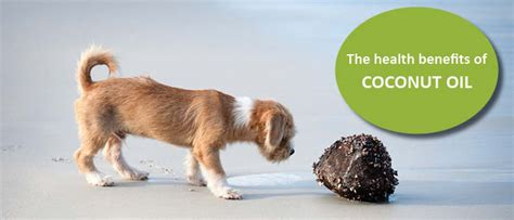 dogs and coconut the healthy benefits of coconut and pets lovin pets
