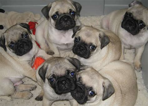 pug tips 10 tips to find the right pug breeder for you