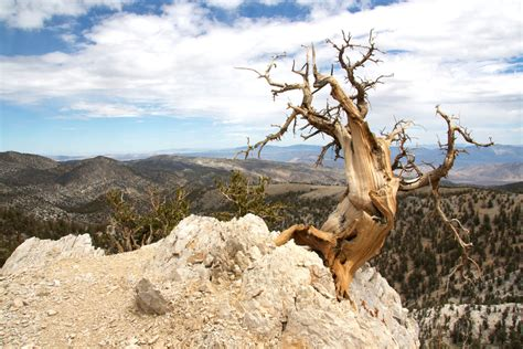 oldest living oldest tree in the world bristlecone pine www pixshark images galleries with a