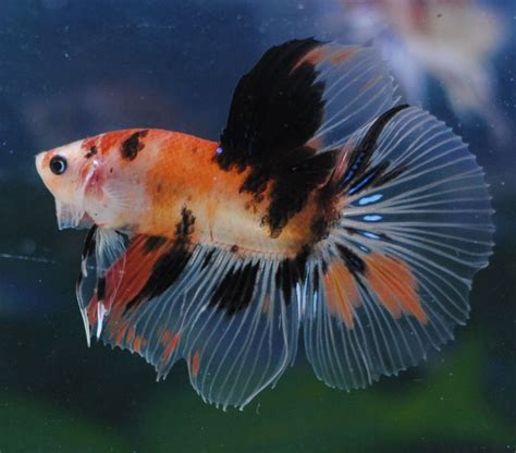 Plakat Koi Orange fwbettashm1453130668 orange koi beautiful betta fish