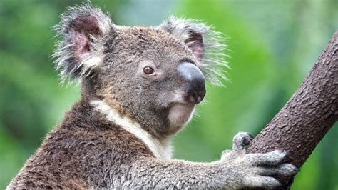 green koala wallpaper koala pictures qygjxz