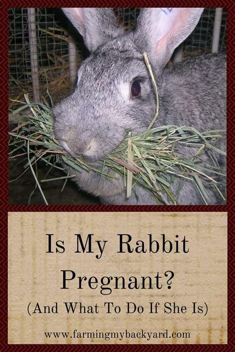 rabbit pregnant