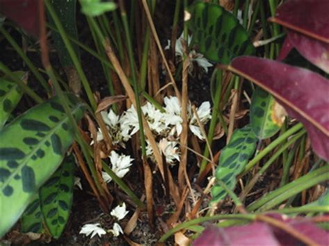 Longwood Gardens Pa by Accession Number 1968 0900 A Calathea Lancifolia