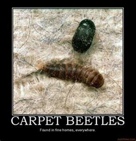 how to get rid of carpet beetles in my bedroom how to get rid of carpet beetles in my bedroom 28 images