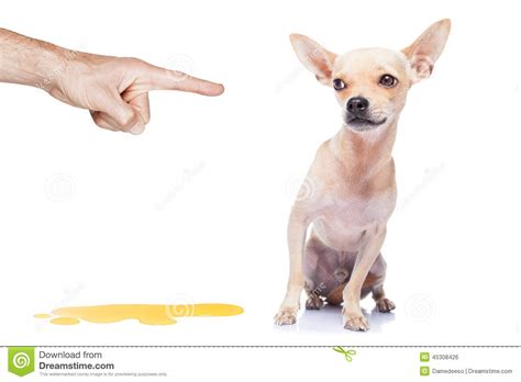 puppy pees all the time stock photo image 45308426