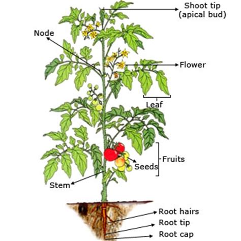 diagram of a tomato plant plant transport and the structure of plants free zimsec