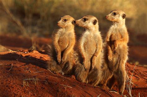 south african cheetah simple english wikipedia the free file meerkat suricata suricatta tswalu jpg wikimedia