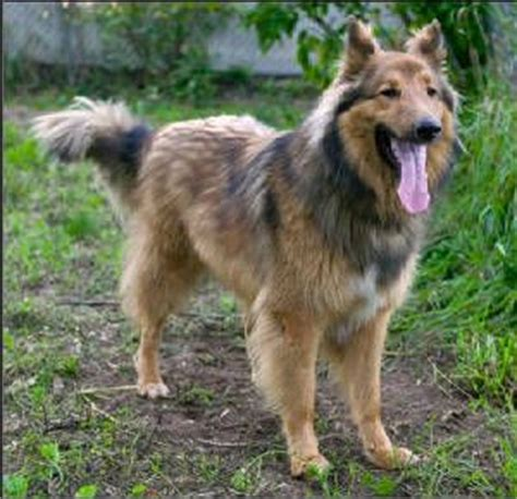 shollie puppies for sale 18 best images about shollie german shepherd collie hybrid dogs on
