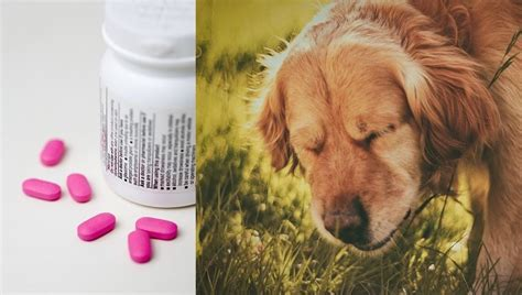 benadryl side effects in dogs benadryl for dogs dosage uses and side effects dogtime