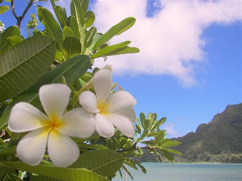 fiori hawaii le isole hawaii