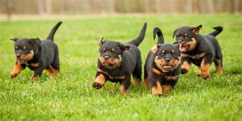 alimentazione rottweiler cucciolo rottweiler aspetto carattere allevamento e prezzi