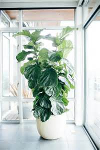 how to care for a tree at home how to care for your fiddle leaf fig tree popsugar home