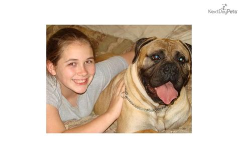 already trained therapy dogs for sale puppies for sale from ashland bullmastiffs member since february 2007
