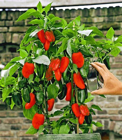 paprika im garten veredelte rote snack paprika paprika bei baldur garten