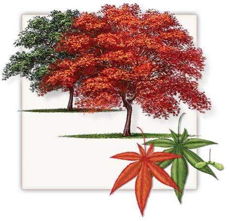 japanese maple tree height 20 fall color purple growth rate 1 per
