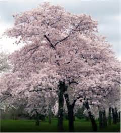buy affordable japanese flowering cherry trees at our online nursery