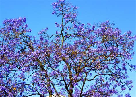 piante ricanti con fiori viola albero con fiori viola fiori idea immagine