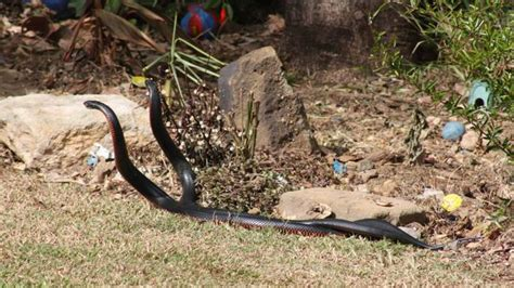snakes in brisbane backyards red belly black snakes yet to be caught in springfield