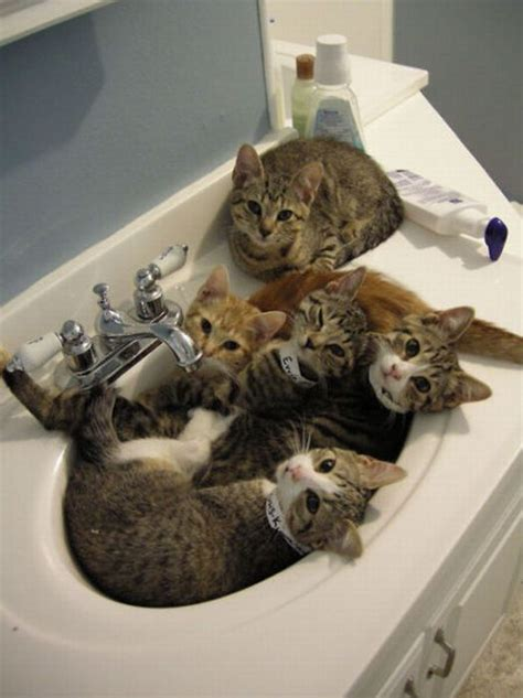 Cat In A Sink cats in a sink 1funny