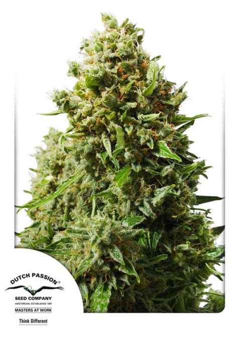 Dutch Passion Think Different Auto by Think Different Auto By Dutch Passion Seeds From Seed City
