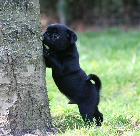 black pug puppie black pug puppy we pugs