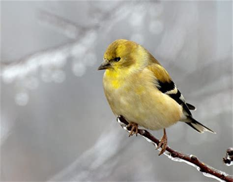 washington willow goldfinch bird pictures state birds